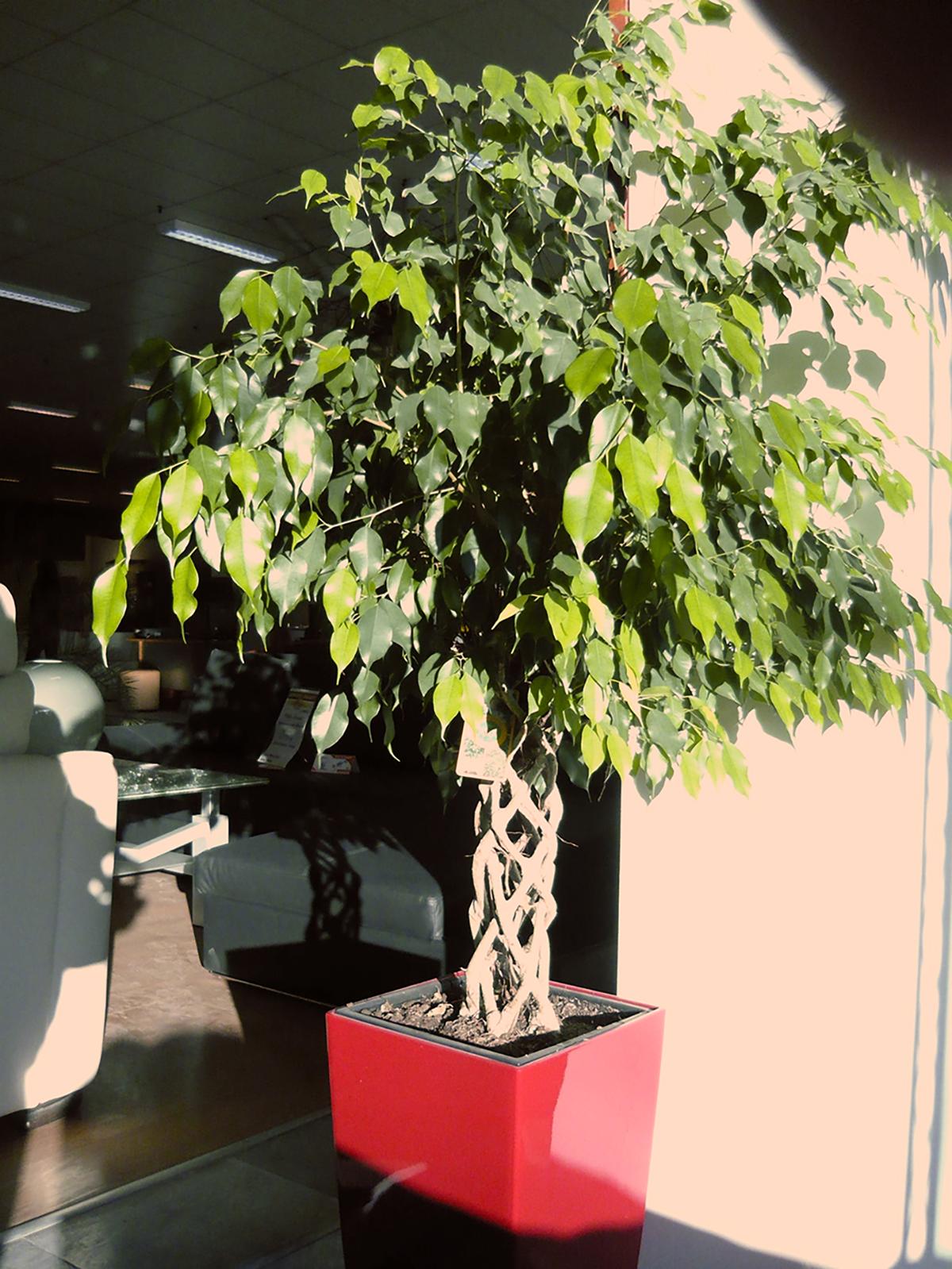 Ficus-benjamina